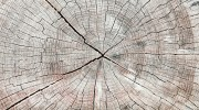 Trunk wooden cross section texture